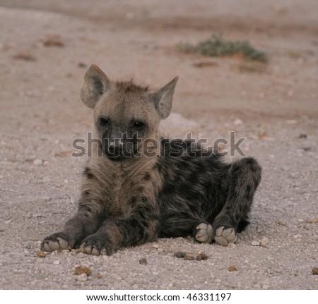 Spotted Hyena waiting at dusk - stock photo