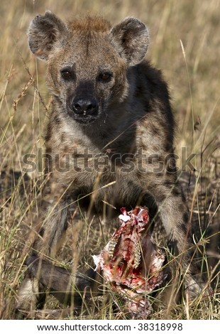 Spotted hyena with wildebeest head