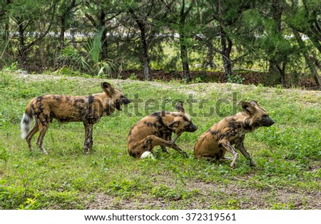 Spotted hyenas - stock photo