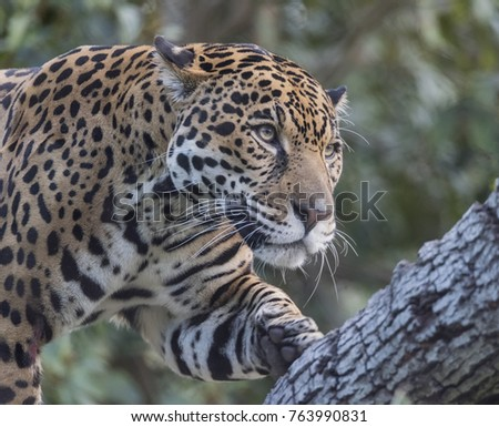 Spotted jaguar on a tree branch