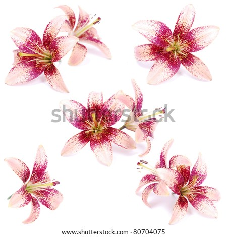 spotted lilies isolated on white - stock photo