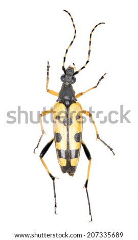 Spotted Longhorn beetle (Rutpela maculata) preserved specimen with entomological pin, isolated on white, full specimen from top