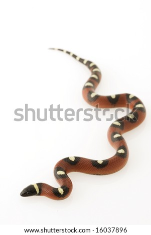 Spotted Mexican Milk Snake (Lampropeltis triangulum annulata) on white background - stock photo