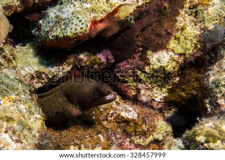 Spotted Moray Eel 2