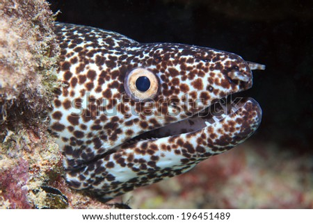 Spotted moray eel (Gymnothorax moringa) in the coral reef of the caribbean - stock photo