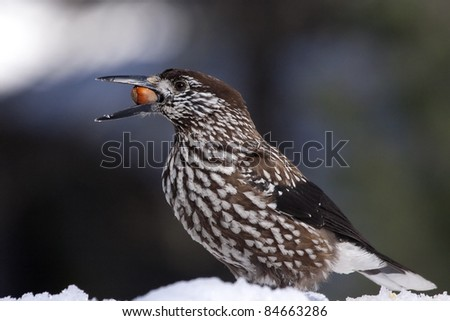 Spotted Nutcracker, Eurasian Nutcracker, or just Nutcracker (Nucifraga caryocatactes), in winter,  on the snowy ground with a nut in its beak. It is the emblem of a Swiss National Park (Engadin). - stock photo
