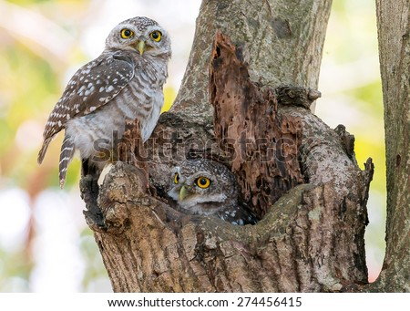 Spotted Owl - stock photo