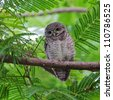 spotted owlet - stock photo