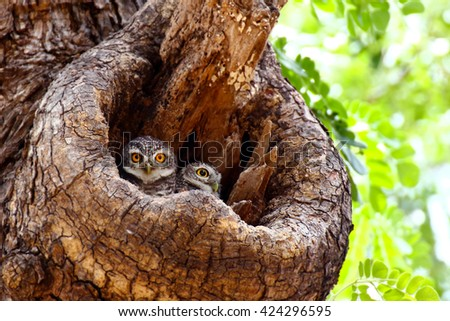 Spotted Owlets (Athene Brama) in tree hollow - stock photo