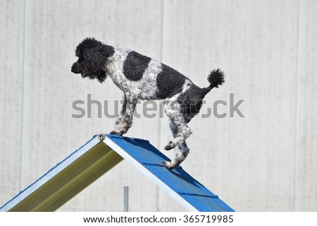 Spotted (Particolor) Standard Poodle on an A-frame at Dog Agility Trial - stock photo