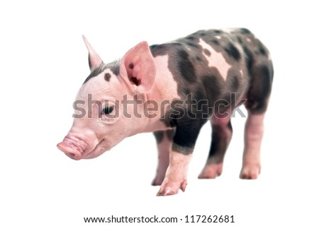 spotted pig isolated on white background - stock photo