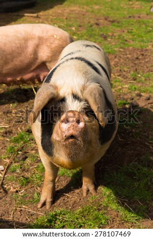 Spotted pig with black spots  - stock photo