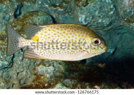 Spotted Rabbitfish - stock photo