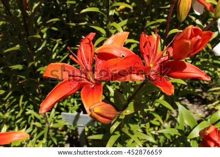 "Spotted red ""Tiger Lily"" flowers (or Devil Lily) in St. Gallen, Switzerland. Its Latin name is Lilium Lancifolium Splendens (Syn Lilium Tigrinum), native to China, Korea and Japan."