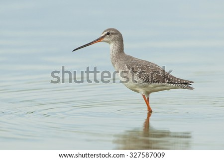 Spotted Redshank (Tringa erytropus) in winter plumage posing in a pool