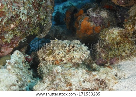 Spotted Scorpionfish (Scorpaena plumieri) Hiding on a Coral Reef Waiting to Ambush its Prey - Bonaire - stock photo