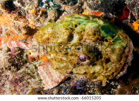 Spotted Scorpionfish-Scorpaena plumieri, picture taken on a shallow reef at Fort Lauderdale By The Sea, shore diving capital of Florida. - stock photo