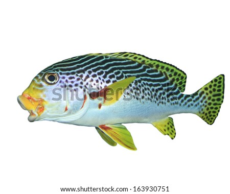 Spotted Sweetlips fish isolated on white background - stock photo