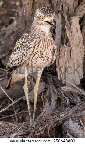 Spotted Thick Knee - stock photo