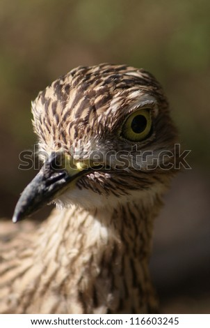 Spotted Thick-knee - Burhinus capensis