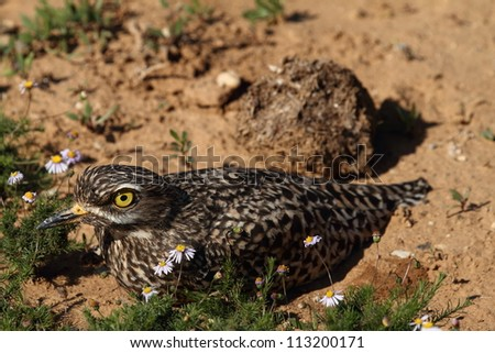 Spotted Thick-knee (Dikkop) sitting on its nest. - stock photo