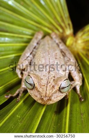 Spotted-thighed treefrog (Hypsiboas fasciatus) in the Peruvian Amazon - stock photo