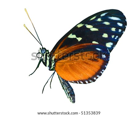 Spotted Tiger Longwing isolated - stock photo