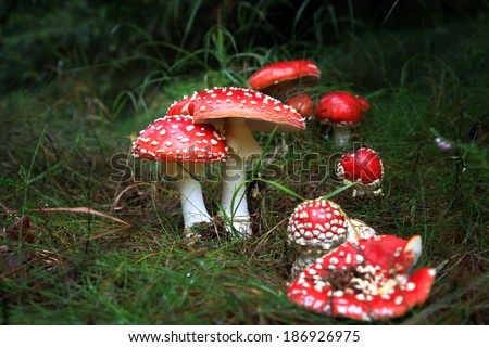 Spotted toadstools in the dark scary woods. Amanita muscaria - beautiful mushroom but very toxic - stock photo