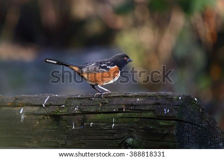 spotted towhee sitting on alog - stock photo