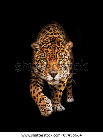 Spotted wild cat - Panther, looking and walking to the camera. Black background, shadows. The same over white - id 75989233 - stock photo