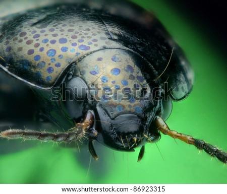 Spotty ground beetle portrait - stock photo
