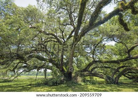 Sprawling Oak Tree - stock photo