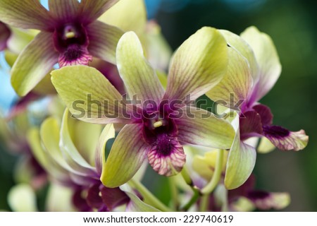 Spray of purple and green cymbidium orchids growing in the botanical gardens in Victoria, Mahe, Seychelles looking into the throat of the end orchid in close up view - stock photo