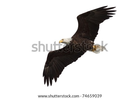 spread wing bald eagle soars across the sky, white background - stock photo