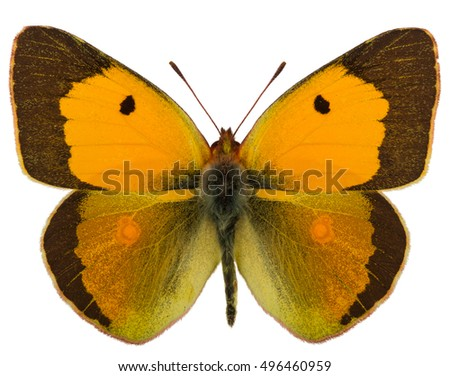 Spreaded male of Dark clouded yellow (Colias croceus) isolated o