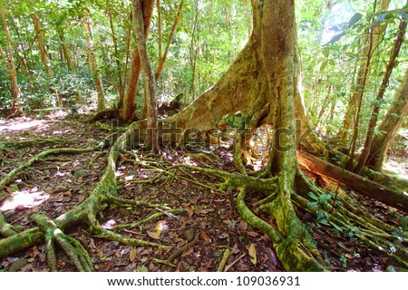 Spreading roots of a fig tree in Sage Mountain National Park of Tortola - stock photo