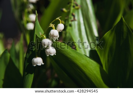 Sprig Lily of valley in sun on green background - stock photo