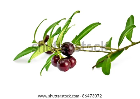 Sprig lingonberry burgundy with green leaves isolated on white background