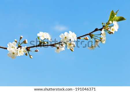 sprig of cherry blossoms on blue sky background - stock photo