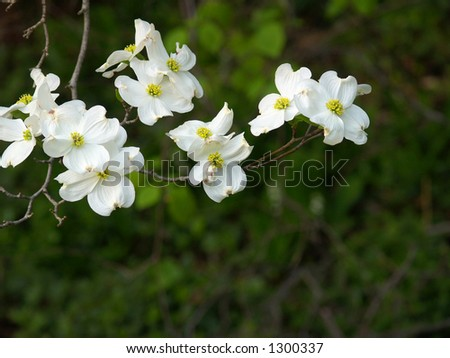 Sprig of dogwood blossoms against a dark background - stock photo