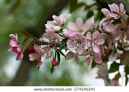 Sprig of flowering tree, spring tender and pink flowers - stock photo