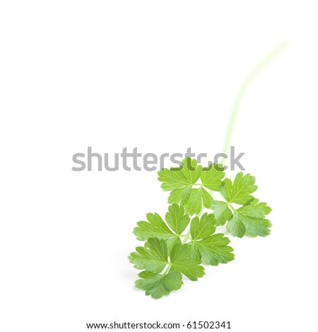 Sprig of fresh green Parsley isolated over white background. Square format.