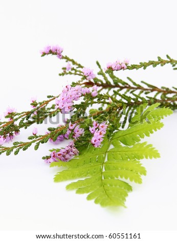 Sprig of heather and fern on white background - stock photo