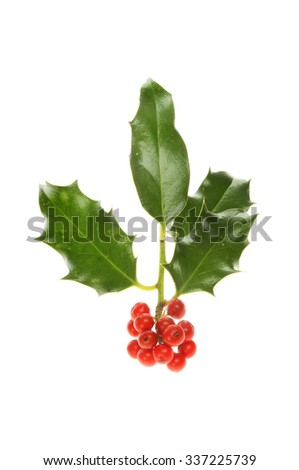 Sprig of Holly with a cluster of berries isolated against white - stock photo