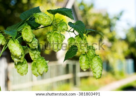 Sprig of hops against the sky, making beer and kvass ingredient, especially the cultivation of hops - stock photo