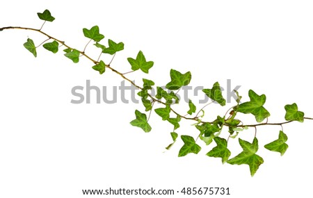 sprig of ivy with green leaves isolated on a white background