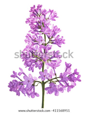 Sprig of Lilac blossoms on white background - stock photo