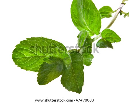 sprig of mint isolated on white