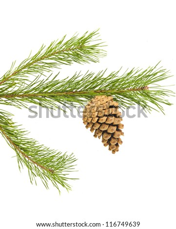 Sprig of pine cone isolated on white background - stock photo
