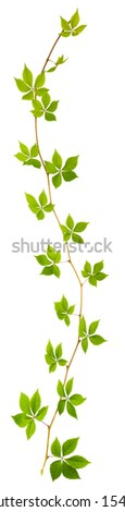 sprig of wild grape with green leaves on a white background - stock photo